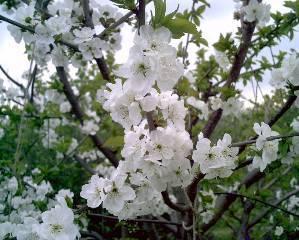 Цветущая вишня Чудо