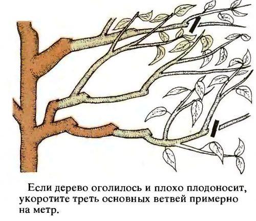 Омоложение вишни