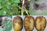 Схема-описание фитофтороза на картофеле