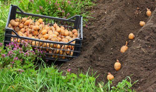 Посадка клубней картофеля