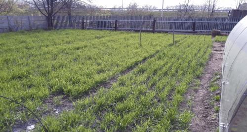 Сидераты на плантации картофеля