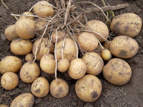 Урожай корнеплодов сорта Удача с одного куста