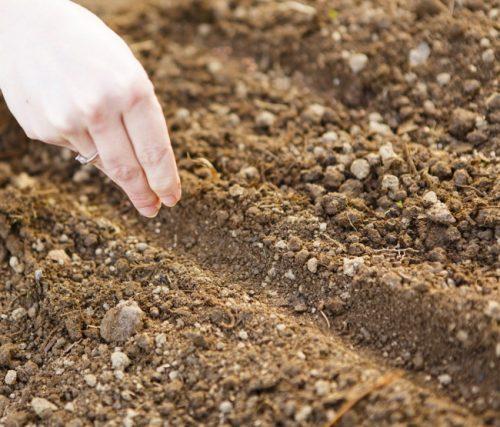 Описание и характеристика сорта капусты Ринда