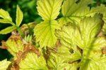 Инфекционный хлороз малины
