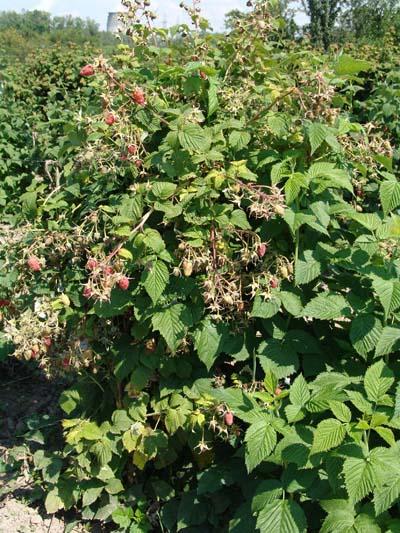 Куст малины сорта Таганка