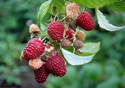 Зреющие ягоды малины