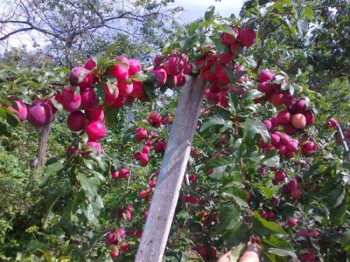 Ветка с плодами сливы