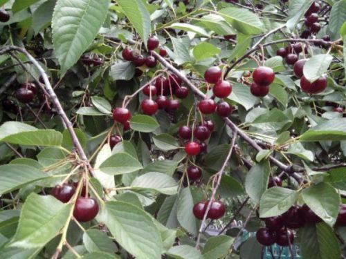 Листва вишни