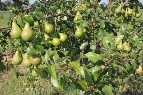 Урожай груши сорта Видная