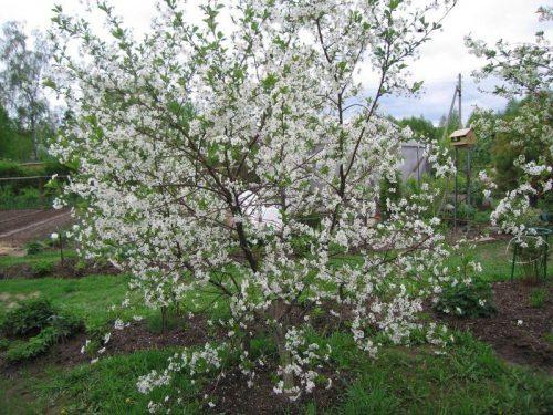 Место для вишни