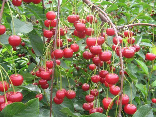 Плодоношение вишни