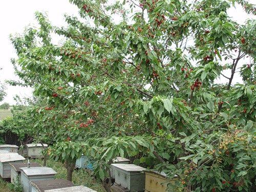 Дерево черешни Валерий Чкалов