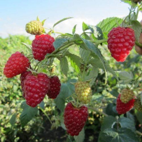 Внешний вид ягод