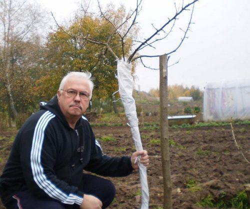 Подготовка молодого дерева к зиме