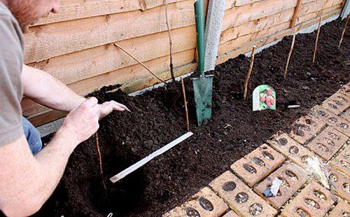 Укорачивание стеблей малины после посадки