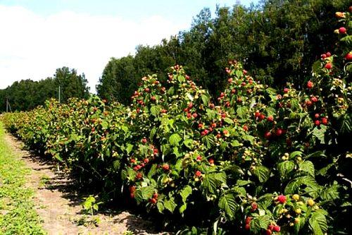 Плодоносящие кусты малины Полька