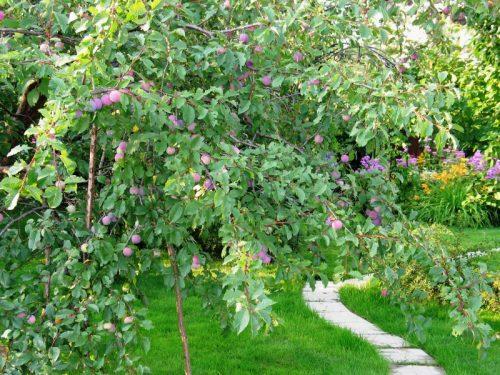 Слива Евразия в саду