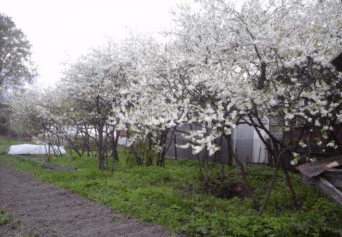 Сливовый сад
