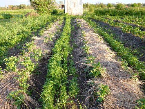 Веерное окучивание картофеля