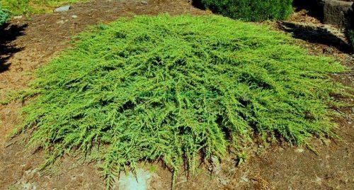 Можжевельник Green Carpet
