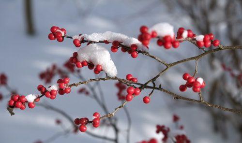 Падуб Мутовчатый Winter Red