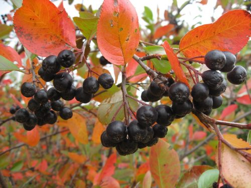 Осенняя арония