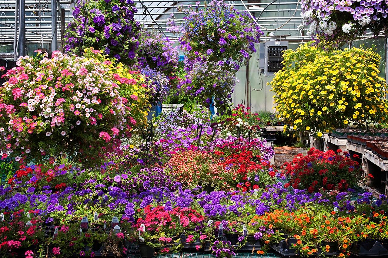 Цветы калибрахоа и их выращивание из семян: посадка и уход (с фото)
