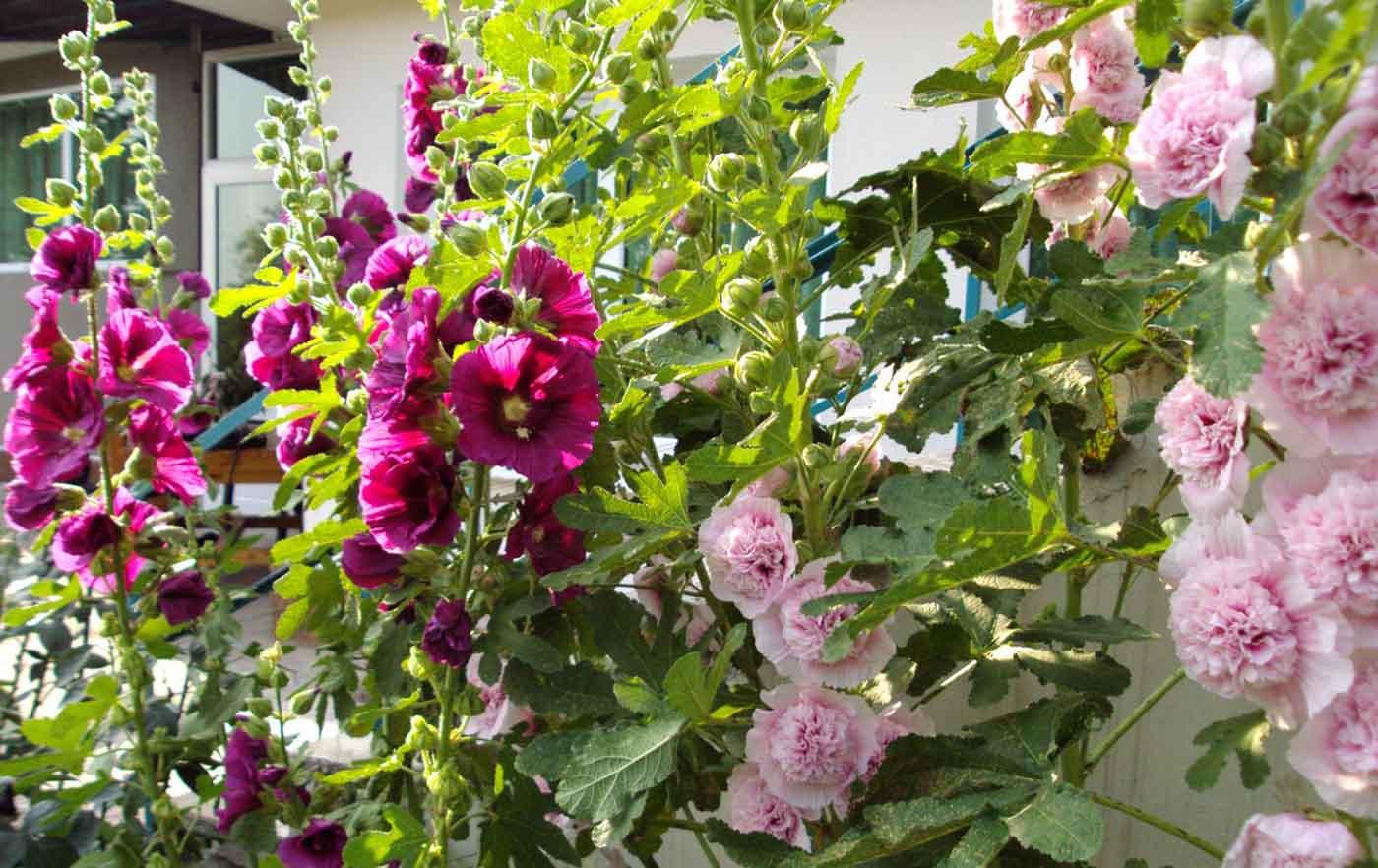 Шток роза: фото, посадка и уход за многолетним цветком