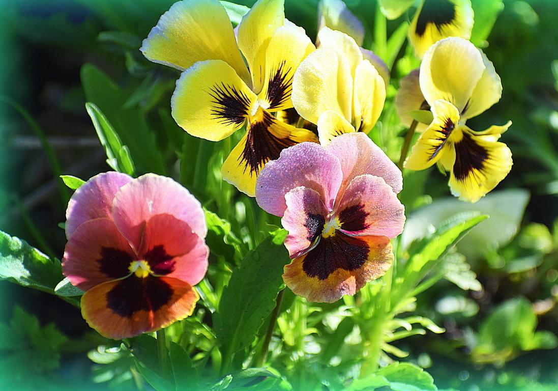 Виола: когда сажать на рассаду и сеять семенами в открытый грунт