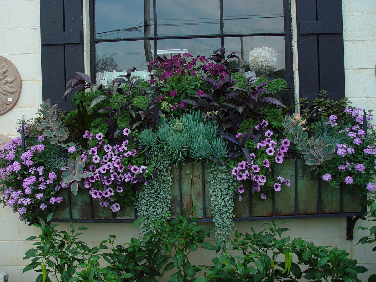 Дихондра ампельная: выращивание из семян, посадка и уход