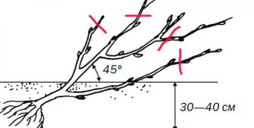 Схема посадки саженца йошты