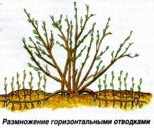 Схема размножения кустарников горизонтальными отводками