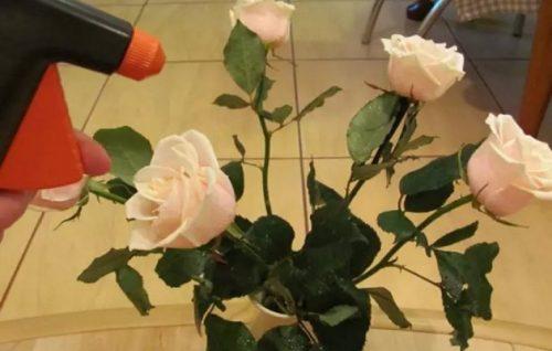Розы прыскают водой