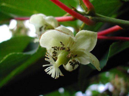 Женский цветок актинидии