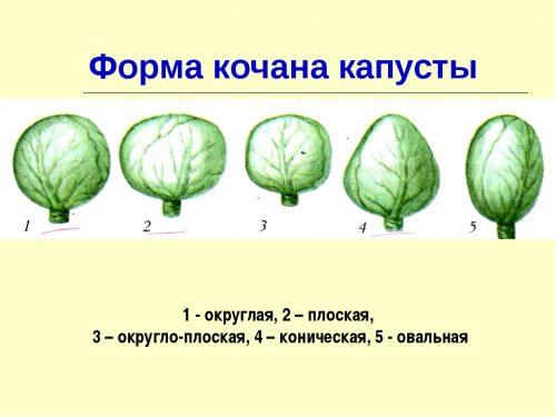 Различные формы кочана капусты