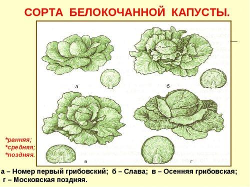 Сорта белокачанной капусты