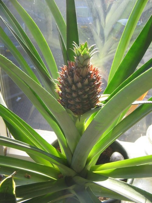 Подходящее место для выращивания ананаса