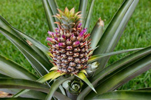 Формирование плода ананаса