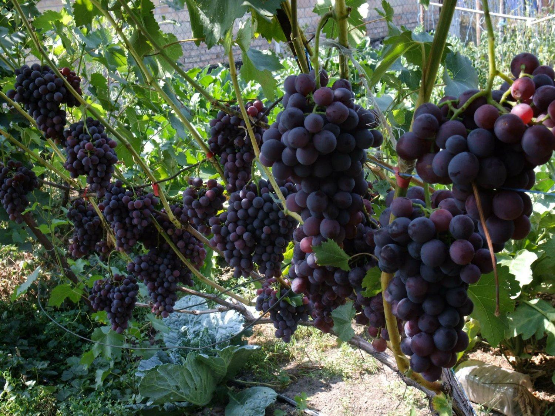 Какое удобрение лучше для винограда