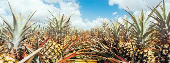растут ананасы