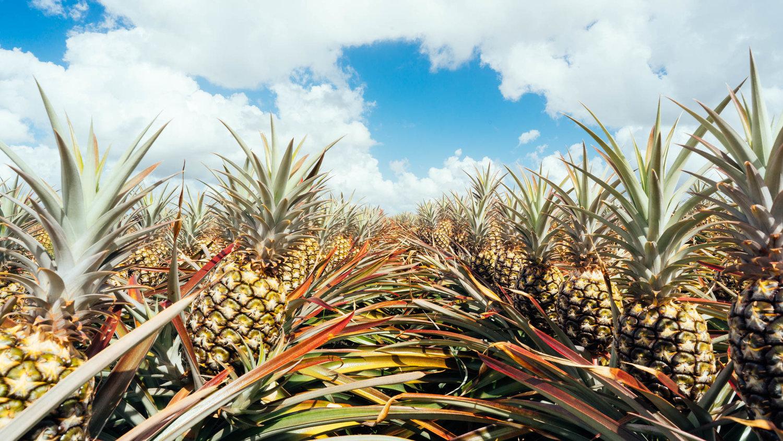 Как растут ананасы. Где и как растут ананасы. В статье рассказано о том, где и как растут ананасы.