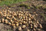 Просушка картошки на грядке