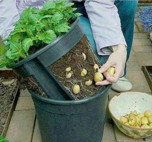 Картофель в домашних условиях