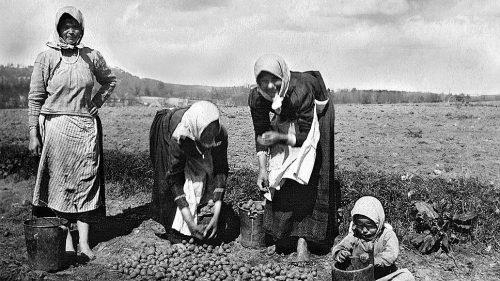 Русские женщины собирают картофель