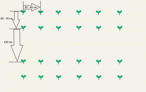Схема посадки брокколи