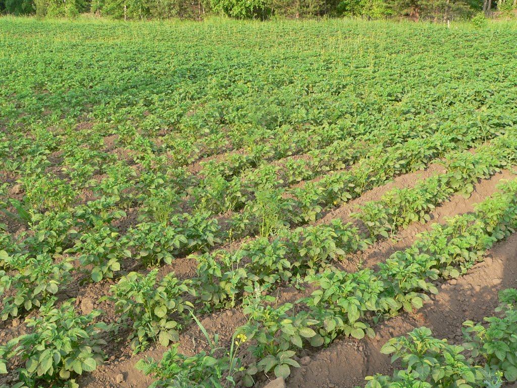 Посадка картофеля в гребни, отличия от выращивания на грядах, особенности гребневого способа