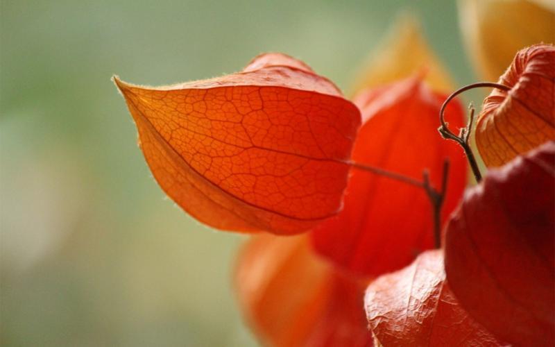 Как вырастить физалис из семян в домашних условиях