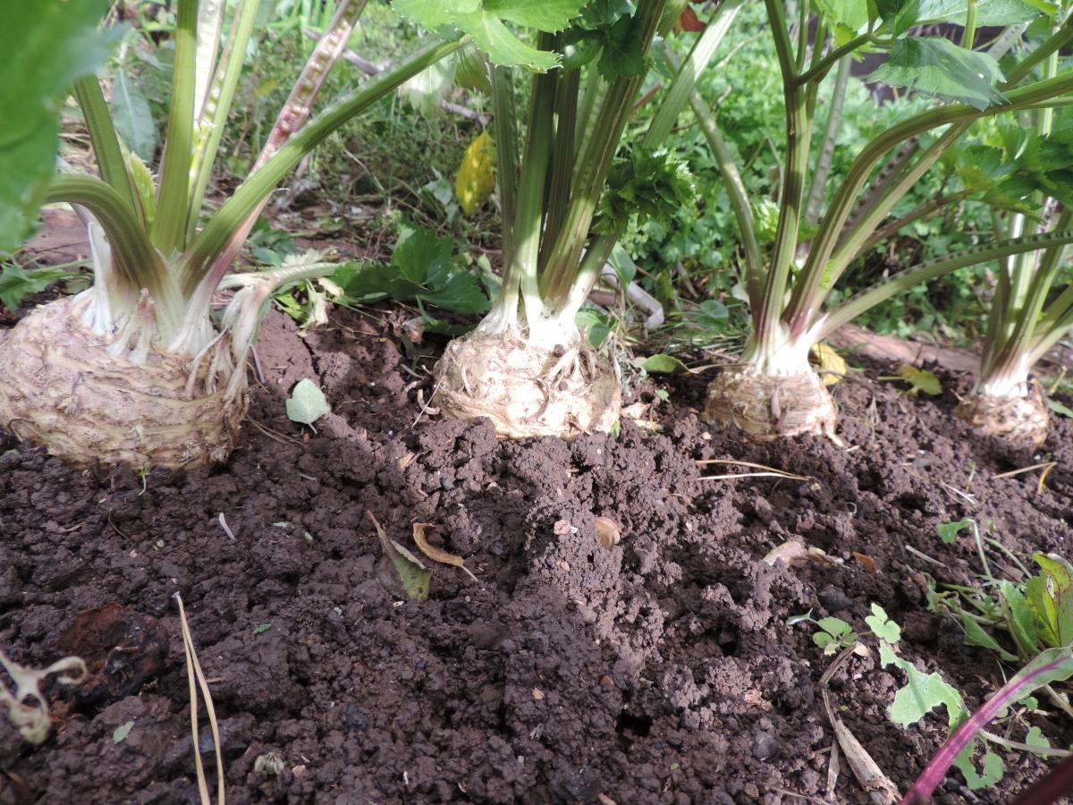 Выращивание корневого сельдерея и уход за ним в открытом грунте: как вырастить из семян рассаду в домашних условиях
