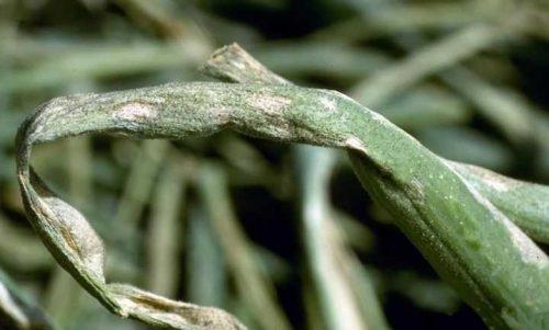 Ложная мучнистая роса лука-порея