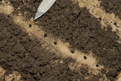 Посев семян лука-порея в грунт
